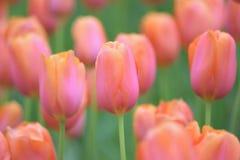 Macro details of Orange Tulip flowers. In summer garden royalty free stock photos