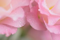 Macro details of Pink Rose petals with water droplets. Macro details of Pink Rose with water droplets in horizontal frame Stock Images