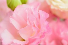 Macro details of pink Rose petals with water droplets. Macro details of pink Rose with water droplets in horizontal frame Stock Image