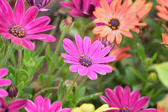 Macro details of purple colored Daisy flowers Royalty Free Stock Photography