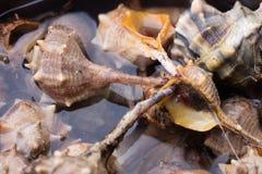 Sea snail,close up Royalty Free Stock Photo