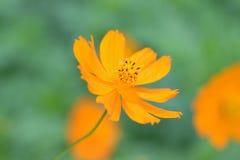 Macro details of summer sulfur Cosmos flower. In horizontal frame stock image