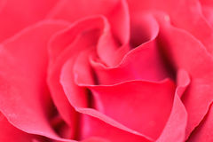 Macro details of vibrant red rose in horizontal frame Royalty Free Stock Photos
