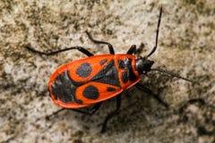 Macro detallada del Firebug Imagen de archivo