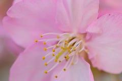 Macro dettagli dei fiori di ciliegia di rosa giapponese nel telaio orizzontale Immagine Stock
