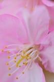 Macro dettagli dei fiori di ciliegia di rosa giapponese nel telaio verticale Fotografia Stock