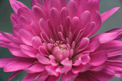 Macro dettagliata del garofano rosa scuro Fotografia Stock Libera da Diritti