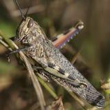 Macro dettagliata di un grasshoppper Fotografie Stock Libere da Diritti