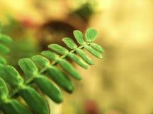 Macro dettaglio della foglia verde dell'acacia immagini stock