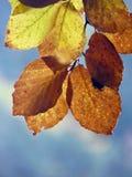 Macro dettaglio delle foglie di autunno dorate ed arancio fotografie stock libere da diritti