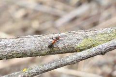 Macro dettaglio legno commovente della formica della foresta di piccolo per l'accumulazione del formicaio Fotografia Stock Libera da Diritti