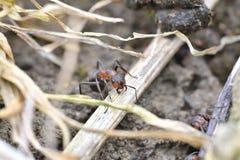 Macro dettaglio legno commovente della formica della foresta di piccolo per l'accumulazione del formicaio Immagini Stock