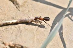 Macro dettaglio legno commovente della formica della foresta di piccolo per l'accumulazione del formicaio Fotografie Stock
