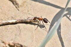 Macro dettaglio legno commovente della formica della foresta di piccolo per l'accumulazione del formicaio Immagini Stock Libere da Diritti