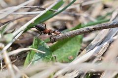 Macro dettaglio legno commovente della formica della foresta di piccolo per l'accumulazione del formicaio Fotografie Stock Libere da Diritti
