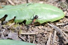 Macro dettaglio legno commovente della formica della foresta di piccolo per l'accumulazione del formicaio Fotografia Stock