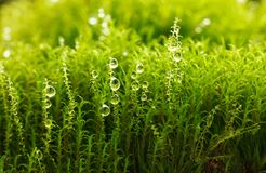 Dew on moss. Macro of dew drops on bright green moss, low point of view Stock Photos