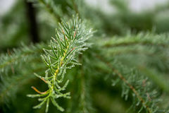 Macro of a dew drops on pine needles Stock Photography