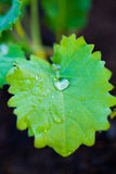 Macro Dew on Leaf in Garden Stock Photo