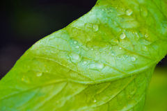 Macro Dew on Leaf in Garden Royalty Free Stock Image