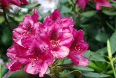 Macro di bei fiori rosa Fotografia Stock