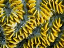 Macro di Brain Coral Fotografia Stock