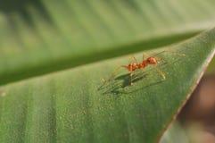 Macro di camminata della formica Fotografia Stock