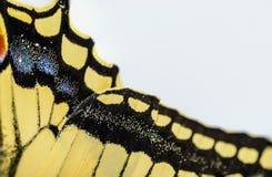 macro di coda di rondine della farfalla Immagine Stock