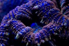 Macro di corallo dura sulla luce di tuffo di notte immagine stock libera da diritti