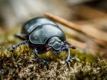 Macro di Dung Beetle Fotografia Stock