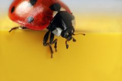 Macro di estremo del Ladybug Fotografia Stock