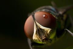 Macro di estremo della mosca Fotografia Stock