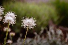 Macro di fioritura bianca del dente di leone fotografie stock