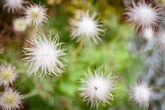 Macro di fioritura bianca del dente di leone fotografia stock