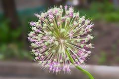 Macro di fioritura della cipolla Fotografie Stock Libere da Diritti