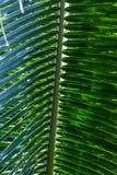 Macro di foglia di palma Immagini Stock Libere da Diritti