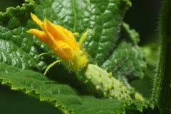 Macro di giovane cetriolo con il fiore Immagini Stock