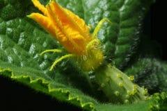 Macro di giovane cetriolo con il fiore Immagini Stock Libere da Diritti