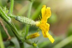 Macro di giovane cetriolo con il fiore Comcept di agricoltura Fotografia Stock