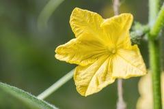 Macro di giovane fiore giallo del cetriolo Comcept di agricoltura Fotografia Stock Libera da Diritti
