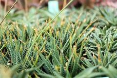 Macro di immagine del cactus - India Fotografia Stock