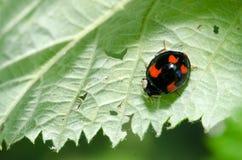 Macro di Ladybird Fotografia Stock