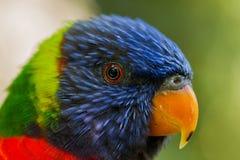 Macro di Lorikeet dell'arcobaleno Fotografia Stock