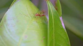 Macro di muoversi rosso delle formiche archivi video