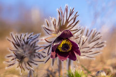 Macro di Pasqueflower Fotografia Stock