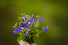 Macro di piccoli fiori blu Fotografie Stock