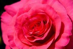Macro 3 di Rosa Fotografia Stock Libera da Diritti