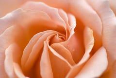 Macro di rosa di colore rosa Immagini Stock