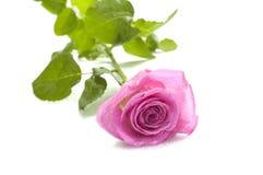 Macro di rosa di colore rosa Fotografia Stock