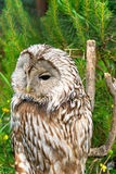 Macro di Tawny Owl Immagini Stock